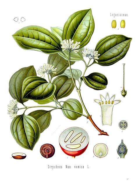 Strychnos nux-vomica – Wikimedia Commons