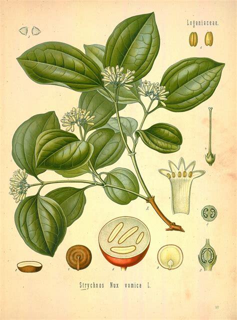 Strychnos nux-vomica Images - Useful Tropical Plants