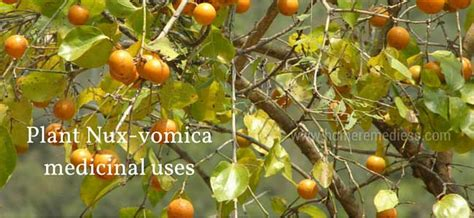 Nux-vomica medicinal uses and pictures