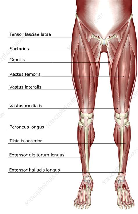 The muscles of the lower body - Stock Image F001/8030